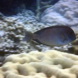 Ctenochaetus striatus - Nouvelle-Calédonie, Nouméa, Baie des Citrons