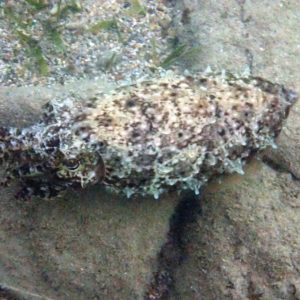 Mollusques » Céphalopodes » Seiche (Sepia latimanus)