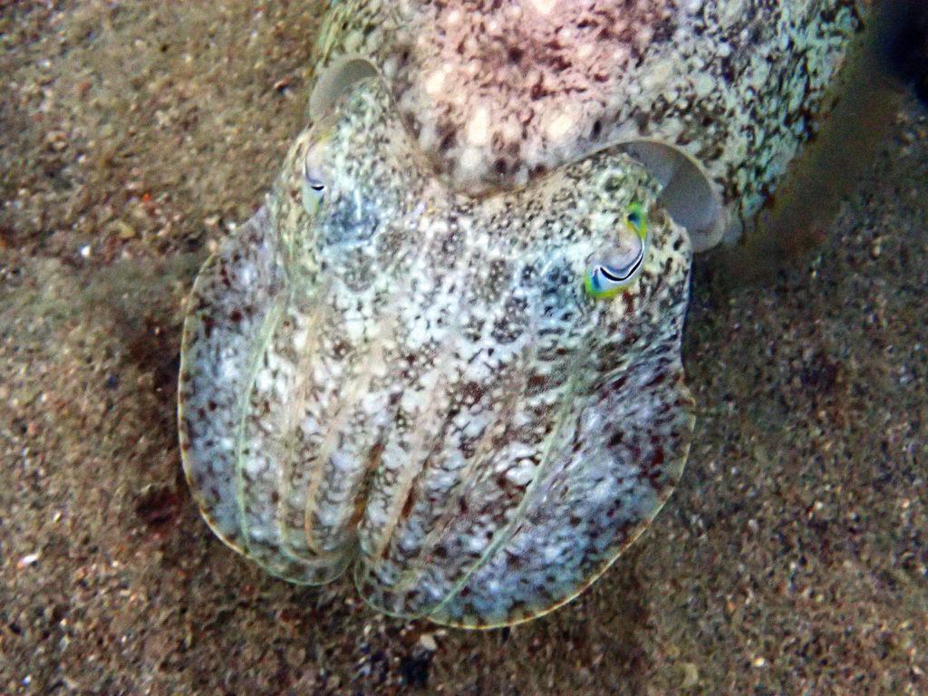 Seiche (Sepia latimanus)