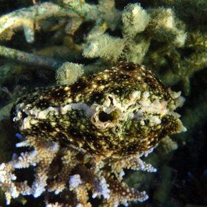 Mollusques » Gastéropodes » Nudibranches » Aplysia dactylomela