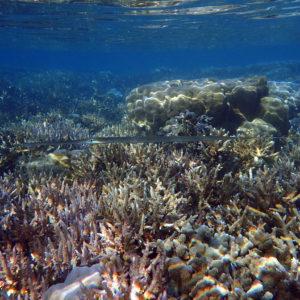 Fistularia commersonii - Nouvelle-Calédonie, Nouméa, Baie des Citrons