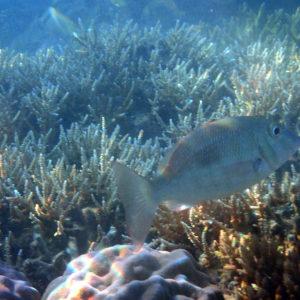 Lethrinus harak - Nouvelle-Calédonie, Nouméa, Baie des Citrons