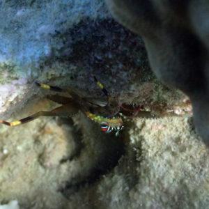 Crustacés » Crabes