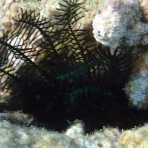 Crinoïde - Nouvelle-Calédonie, Nouméa, Kuendu Beach