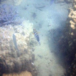 Poissons » Labre » Choerodon fasciatus