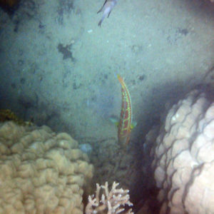 Poissons osseux » Labre » Thalassoma purpureum