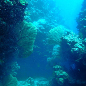 Cnidaires » Gorgone