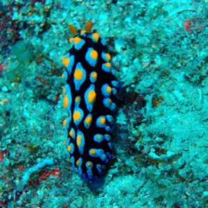 Mollusques » Gastéropodes » Nudibranches » Phyllidia coelestis