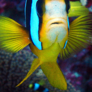 Poissons » Poisson-clown » Amphiprion akindynos