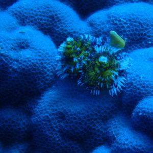 Organismes vermiformes » Annélide » Ver tubicole » Spirobranchus corniculatus