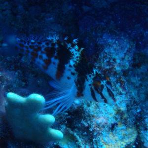 Poissons » Poisson-épervier » Cirrhitichthys falco