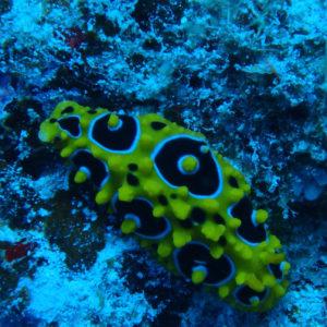 Mollusques » Gastéropodes » Nudibranches » Phyllidia Ocellata