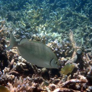 Siganus fuscescens - Nouvelle-Calédonie, Nouméa, Le Ponton, récif Tamanou