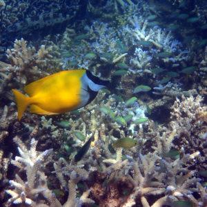Siganus vulpinus - Nouvelle-Calédonie, Nouméa, Le Ponton, récif Tamanou