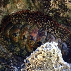 Mollusques » Chiton » Acanthopleura sp.