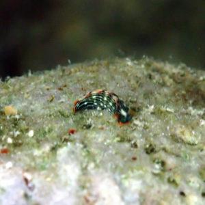Mollusques » Gastéropodes » Nudibranches » Thuridilla bayeri