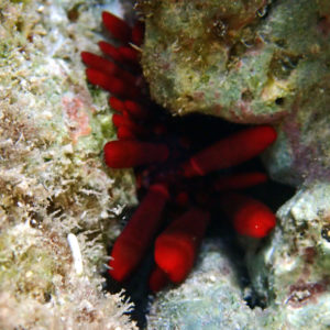 Heterocentrotus mammillatus - Nouvelle-Calédonie, Îlot Maître