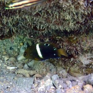Poissons » Poisson-demoiselle » Chrysiptera biocellata