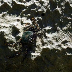 Crustacés » Crabes » Grapsus albolineatus