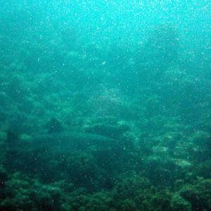 Poissons cartilagineux » Requin