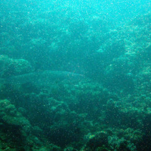 Poissons » Requin