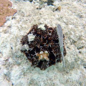 Échinodermes » Oursin » Tripneustes gratilla