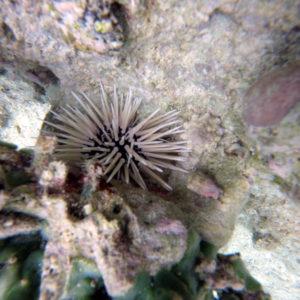 Échinodermes » Oursin » Echinometra mathaei