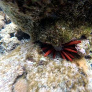 Heterocentrotus mammillatus - Nouvelle-Calédonie, Île des Pins, Piscine naturelle d'Oro