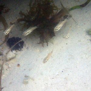 Poissons osseux - Nouvelle-Calédonie, Île des Pins, Baie D'Oro, Île des Pins