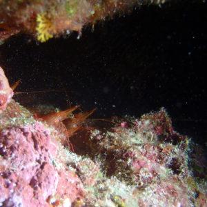 Crustacés » Crevettes » Rhynchocinetes brucei