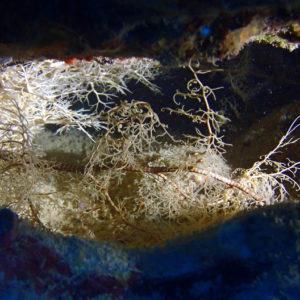 Échinodermes » Ophiure » Gorgonocéphale » Astrobo nuda
