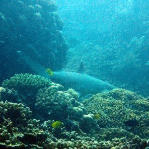 Poissons » Requin » Triaenodon obesus