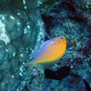 Serranocirrhitus latus - Nouvelle-Calédonie, Île des Pins, Lorette