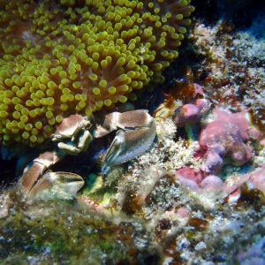 Crustacés » Crabes » Neopetrolisthes maculatus