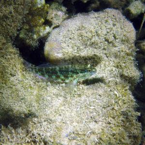 Gobie - Nouvelle-Calédonie, Nouméa, Baie des Citrons