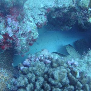 Poissons cartilagineux » Requin » Triaenodon obesus
