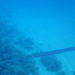 Fistularia commersonii - Nouvelle-Calédonie, Passe de Boulari, Manta Point