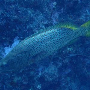 Poissons osseux » Loche » Anyperodon leucogrammicus