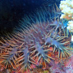 Échinodermes » Étoile de mer » Acanthaster planci