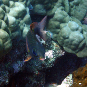 Poissons osseux - Nouvelle-Calédonie, Nouméa, Le sournois