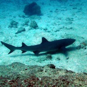 Poissons » Requin » Carcharinus albimarginatus