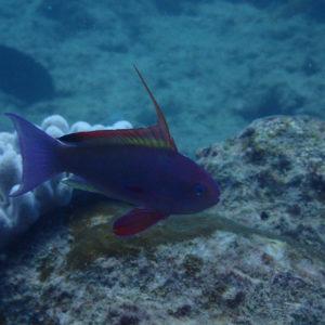 Pseudanthias squamipinnis - Nouvelle-Calédonie, Passe de Boulari, Manta Point