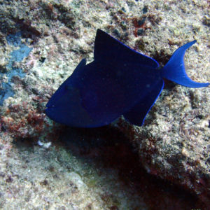 Odonus niger - Nouvelle-Calédonie, Passe de Boulari, Manta Point