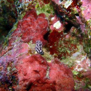 Mollusques » Gastéropodes » Nudibranches » Phyllidiella pustulosa
