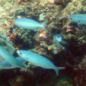 Poissons » Fusiliers » Pterocaesio digramma