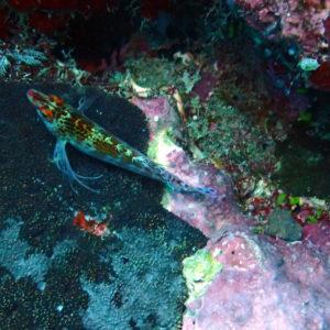 Poissons osseux » Poisson-épervier » Cirrhitichthys falco