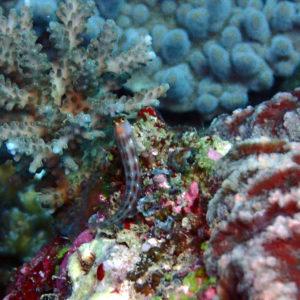 Poissons osseux » Blennie » Ecsenius yaeyamaensis