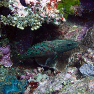 Poissons » Loche » Anyperodon leucogrammicus