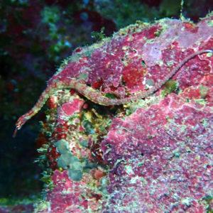 Poissons osseux » Poisson-pipe » Corythoichthys nigripectus