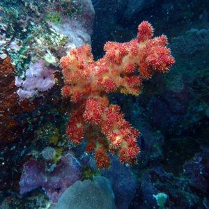 Cnidaires » Coraux mous » Dendronephthya sp.